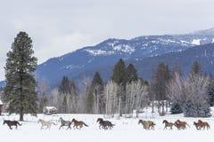Konie biega w śniegu Fotografia Royalty Free