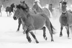 Konie biega w śniegu Zdjęcie Royalty Free
