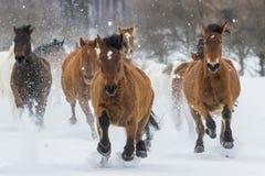 Konie biega w śniegu Fotografia Stock