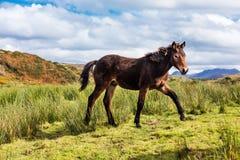 Konie blisko Connemara parka narodowego, Co galway Ireland obraz stock