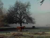 Konie dębowym drzewem zbiory wideo