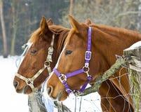konie dwa Zdjęcia Royalty Free