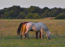 konie dwa obrazy royalty free