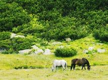 konie dwa Zdjęcie Stock