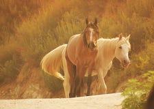 konie dzicy Obraz Royalty Free