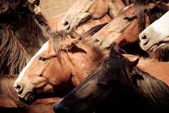 konie dzicy Zdjęcie Royalty Free