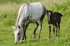 konie dzicy Fotografia Royalty Free