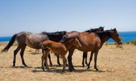 konie górskie Zdjęcia Royalty Free