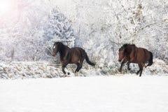 Konie galopujący w śniegu Fotografia Royalty Free