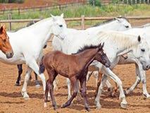 Konie gromadzą się z małym źrebięciem przy spanish gospodarstwem rolnym. zdjęcia royalty free