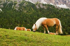 konie halni Zdjęcie Royalty Free