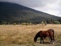Konie i mgła obrazy royalty free