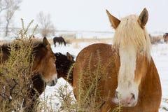 Konie i muły w śniegu Fotografia Royalty Free
