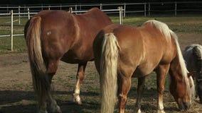 Konie je siano na gospodarstwie rolnym zbiory