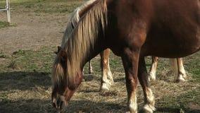 Konie je siano na gospodarstwie rolnym zbiory wideo