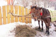 Konie je siano w śniegu zakrywali padok w zimie Konie w nicielnicie jedzą siano zdjęcia stock
