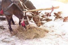 Konie je siano w śniegu zakrywali padok w zimie Konie w nicielnicie jedzą siano fotografia royalty free