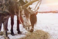 Konie je siano w śniegu zakrywali padok w zimie Konie w nicielnicie jedzą siano zdjęcie royalty free