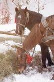 Konie je siano w śniegu zakrywali padok w zimie Konie w nicielnicie jedzą siano zdjęcie stock