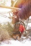 Konie je siano w śniegu zakrywali padok w zimie Konie w nicielnicie jedzą siano zdjęcia royalty free