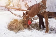 Konie je siano w śniegu zakrywali padok w zimie Konie w nicielnicie jedzą siano obraz royalty free
