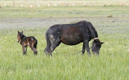 Konie jedzą w naturze na trawie obrazy royalty free