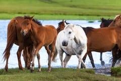 Konie jeziorem Zdjęcia Stock