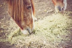 Konie karmi na sianie i słomie na gospodarstwie rolnym Zdjęcia Stock