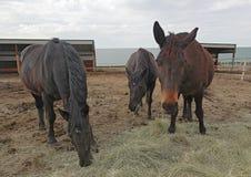 Konie karmi przy rancho na opóźnionym wiosna wieczór zdjęcia stock