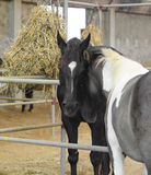 konie kochają dwa Obraz Stock