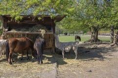 Konie, lamy i k?zki, jedz? przy dozownikiem, zwierz?ta gospodarskie cieszy si? pogodnego wiosna dzie? w coutry obraz royalty free