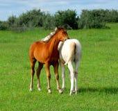 konie młodzi zdjęcia stock
