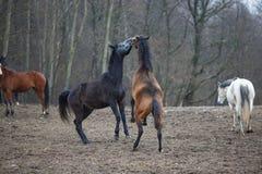 Konie na łące Zdjęcia Royalty Free