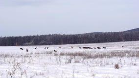 Konie na śnieżnym polu zbiory wideo
