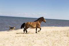 Konie na brzeg Jeziorny Baikal Zdjęcie Royalty Free