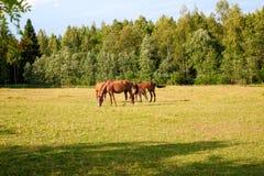 Konie na gospodarstwie rolnym Zdjęcia Royalty Free