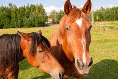Konie na gospodarstwie rolnym Zdjęcie Stock