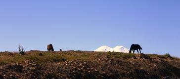 Konie na lato jesieni Caucasus łące Obraz Royalty Free
