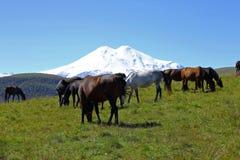 Konie na lato jesieni Caucasus łące Zdjęcia Stock