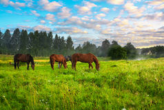 Konie na paśniku Obraz Royalty Free