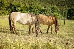 Konie na paśniku Fotografia Royalty Free