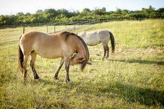 Konie na paśniku Obrazy Stock
