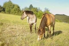 Konie na paśniku Zdjęcie Stock