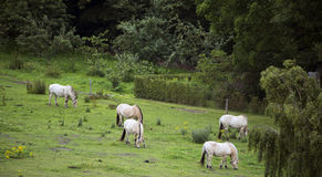 Konie na polu Zdjęcia Stock