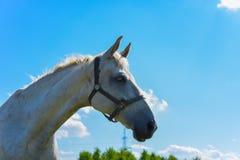 Konie na spacerze na ciepłym słonecznym dniu fotografia stock