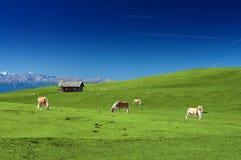 Konie pasa na paśniku Zdjęcia Royalty Free