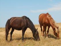 Konie pasa na stepie Zdjęcie Stock