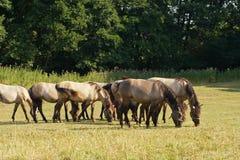 Konie pasa przy wsią Fotografia Royalty Free