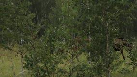 Konie pasa soczystej trawy w zielonym gazonie przy brzoza lasem zbiory wideo