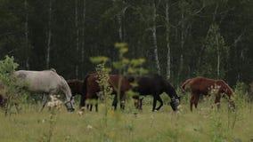 Konie pasa soczystej trawy w zielonym gazonie przy brzoza lasem zdjęcie wideo
